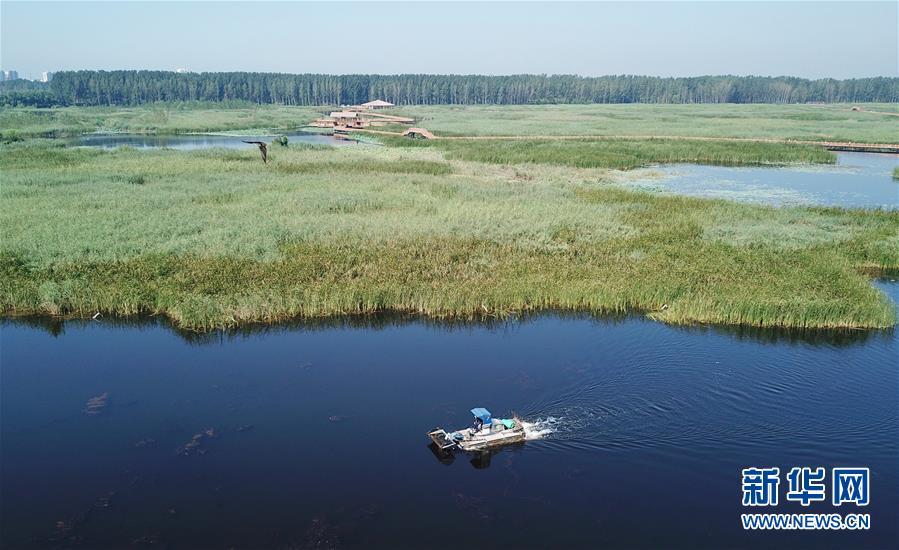 这是一艘打捞船在白洋淀景区内清理漂浮物(8月31日无人机拍摄)。 新华社记者 牟宇 摄