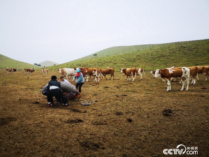 玛拉沁艾力养殖合作社接生难产小牛。(何川 摄)