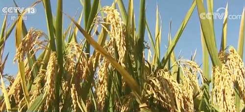 亩产超1000公斤!第三代杂交水稻产量取得重大突破