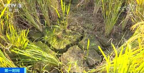 江西萍乡:连续干旱致33万亩农作物受灾