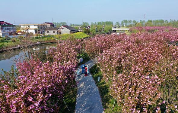 春季樱花盛开时的小杨村(小杨村委会供图)