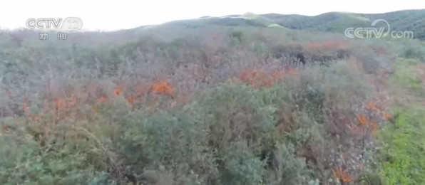 特色产业助力发展 黑龙江省林口县15万亩沙棘喜获丰收