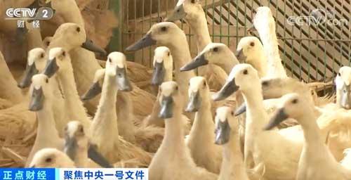 我国是世界最大的肉鸭生产国,该如何培育适应消费需求的肉鸭新品种?