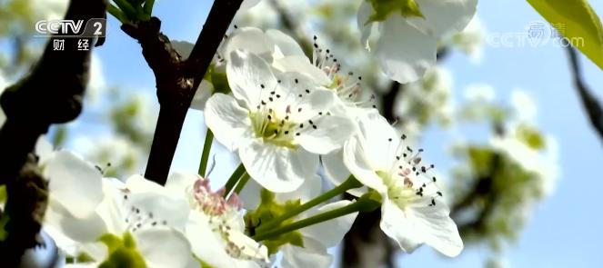 春天赏花的去处你有吗 不如看看这座百亩梨花园