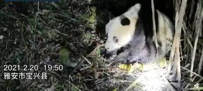 四川宝兴一野生大熊猫被发现时已不能动弹 最终抢救无效死亡