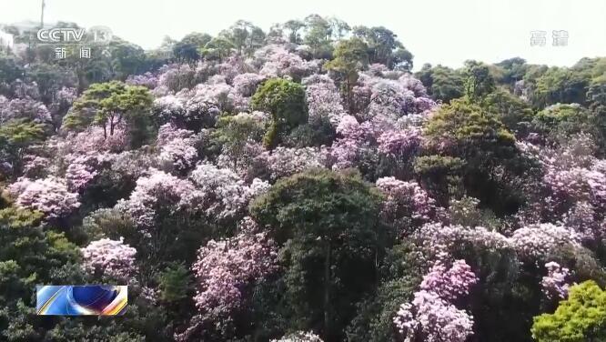 梧桐山杜鹃花争相开放 吸引游客驻足欣赏