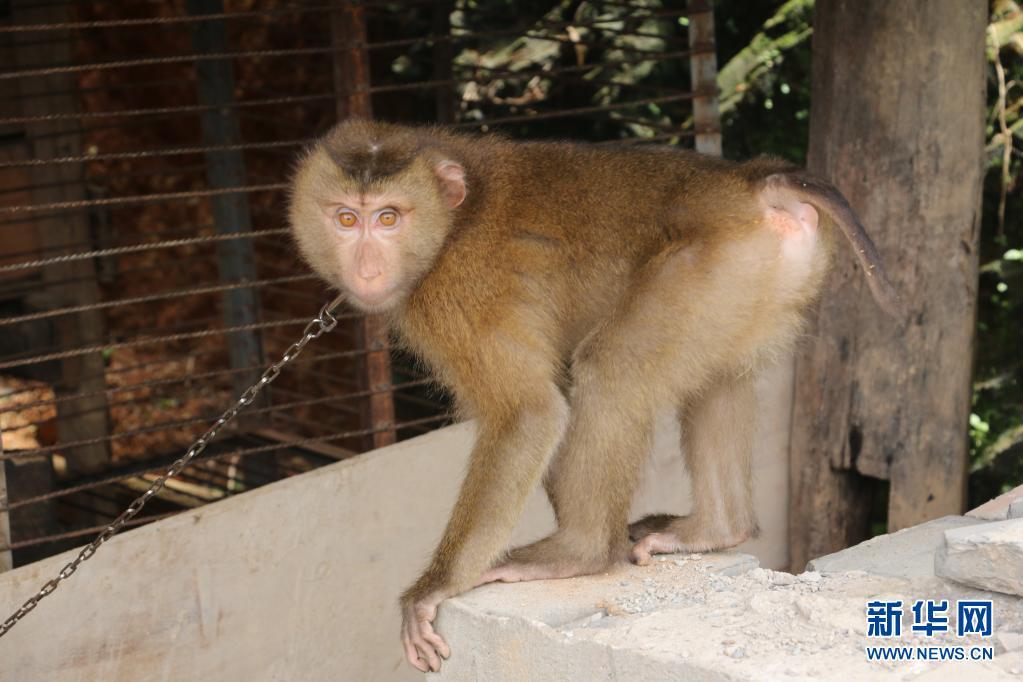 村民主动上交猴子,竟是国家一级保护动物