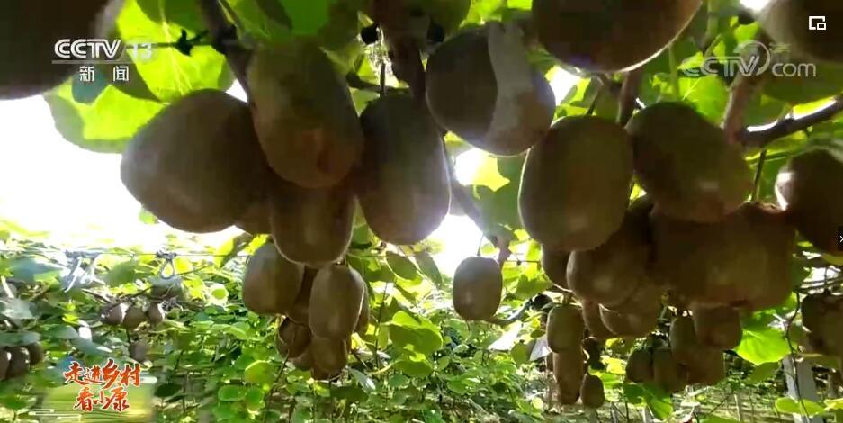 走进乡村看小康 | 山东高青:黄河岸边猕猴桃 喜获丰收果农乐