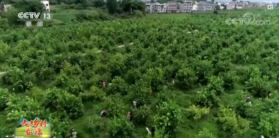 走进乡村看小康 | 四川华蓥:柠檬挂满枝 乡村果飘香