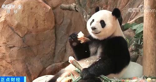 广东广州:熊猫三胞胎提前过中秋 专属月饼抢眼