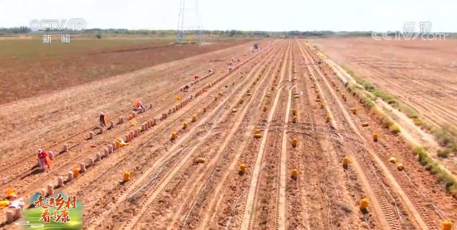 走进乡村看小康 | 宁夏平罗红瑞村:沙漠土豆收获忙 丰收喜悦度佳节