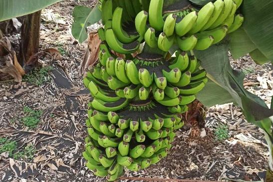 受火山灰影响 西班牙拉帕尔马岛50%以上香蕉无法出售
