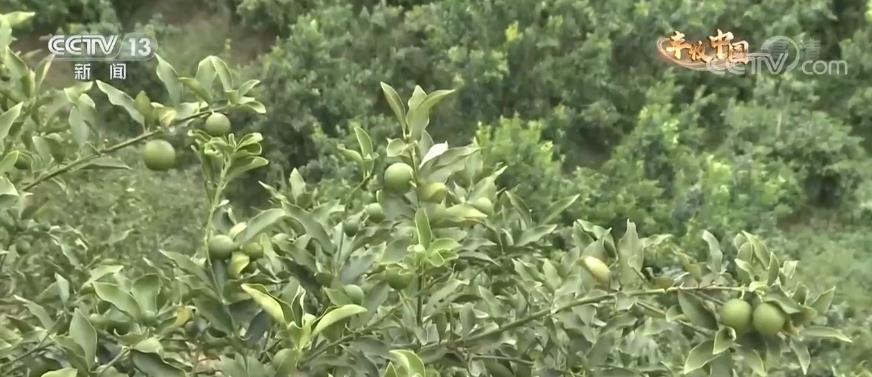 广西鹿寨:金桔飘香迎丰收 农民欣喜采摘忙